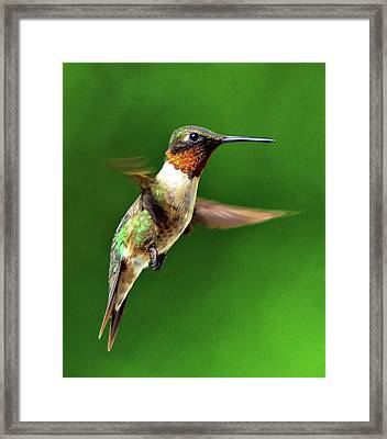 Hummingbird In Mid-air Framed Print by Jeff R Clow