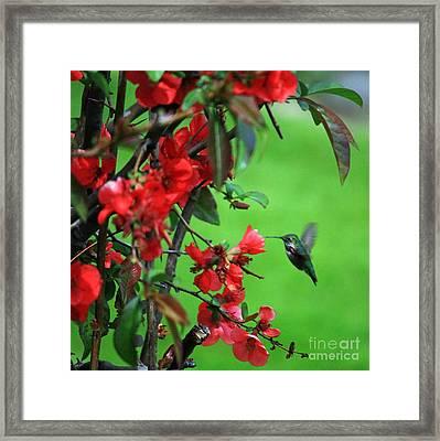 Hummingbird In The Flowering Quince - Digital Painting Framed Print by Carol Groenen