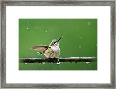 Hummingbird In The Rain Framed Print by Christina Rollo