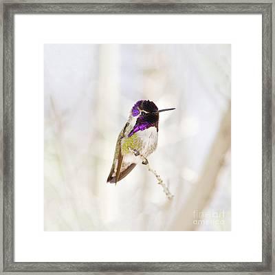 Hummingbird Larger Background Framed Print by Rebecca Margraf