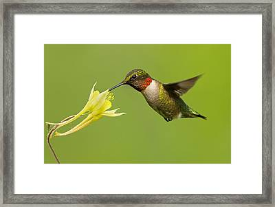 Hummingbird Framed Print by Mircea Costina Photography