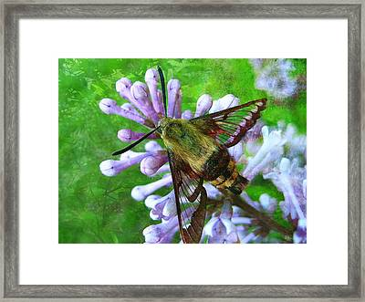 Hummingbird Moth Framed Print by Shirley Sirois