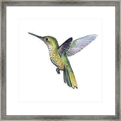 Hummingbird Watercolor Illustration Framed Print by Olga Shvartsur