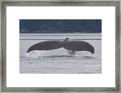 Humpback Dive Framed Print by Stan and Anne Foster