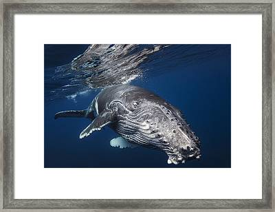 Underwater Diva Framed Print featuring the photograph Humpback Whale by Barathieu Gabriel