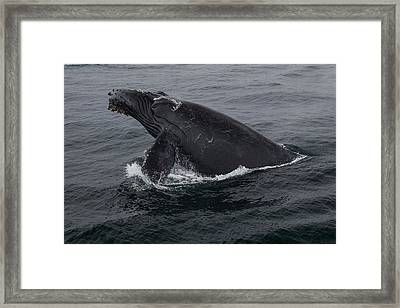 Humpback Whale Breach Framed Print by Tory Kallman