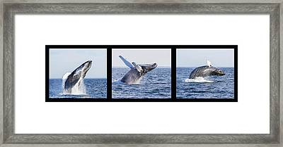 Humpback Whale Breaching Framed Print by Mircea Costina Photography