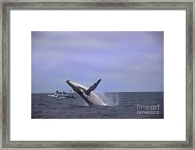 Humpback Whale Breaching Near Puerto Lopez - Ecuador IIi Framed Print by Al Bourassa