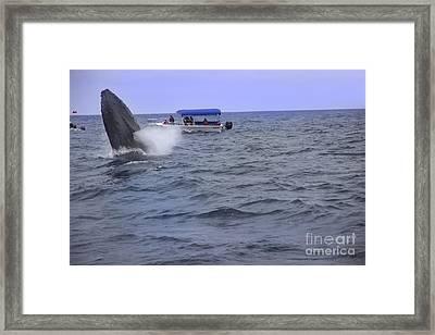 Humpback Whale Breaching Near Puerto Lopez - Ecuador V Framed Print by Al Bourassa