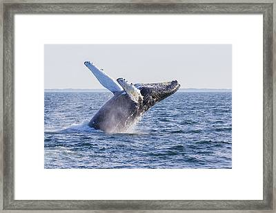 Humpback Whale Framed Print by Mircea Costina Photography