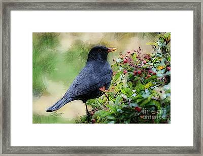 Hungry Blackbird Framed Print by Jutta Maria Pusl