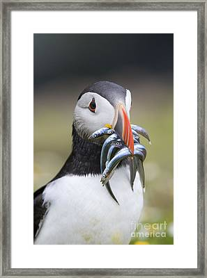 Hungry Puffin Framed Print by Tim Gainey
