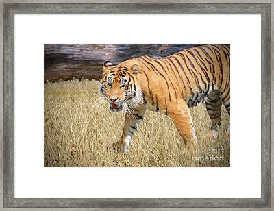 Hungry Tiger Framed Print by Judy Kay