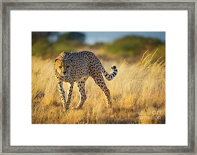 Hunting Cheetah Framed Print by Inge Johnsson