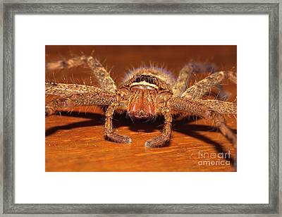 Huntsman Spider Framed Print by Joerg Lingnau