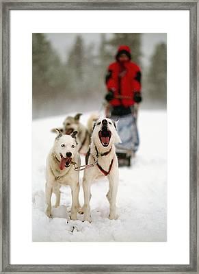 Husky Dog Racing Framed Print by Axiom Photographic