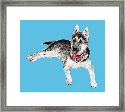 Husky Puppy Bella Framed Print by Jack Pumphrey
