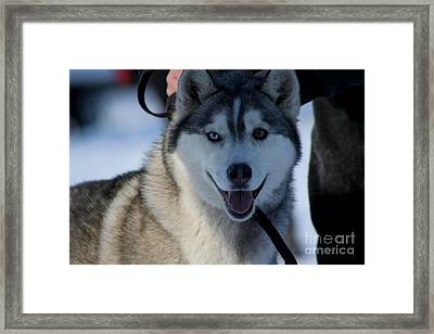 Husky Framed Print by Tanja Hymel