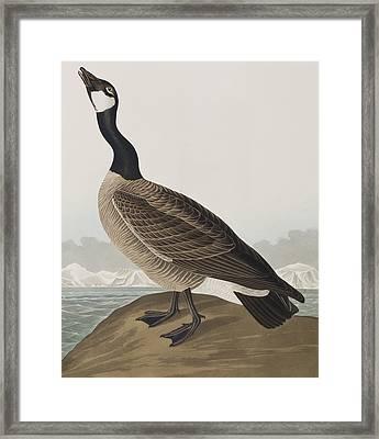 Hutchins's Barnacle Goose Framed Print by John James Audubon