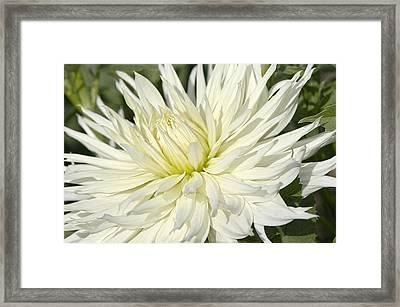 Hy Mom Dahlia Framed Print by Sharon Talson