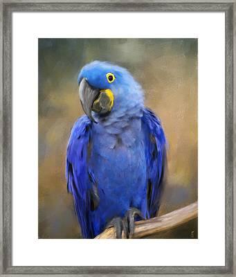 Hyacinth Macaw  Framed Print by Jai Johnson
