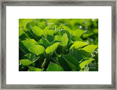 Hydrangea Foliage Framed Print by Gaspar Avila