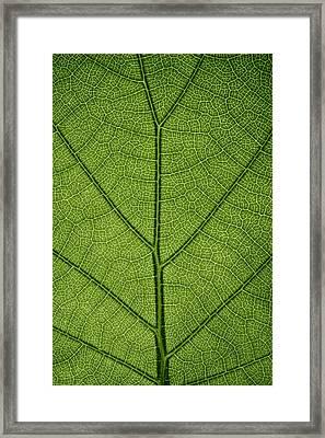 Hydrangea Leaf Framed Print by Steve Gadomski