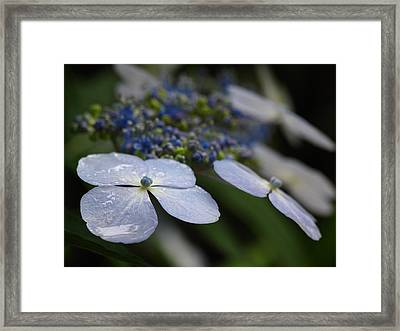 Hydrangea Macrophylla Framed Print by Juergen Roth