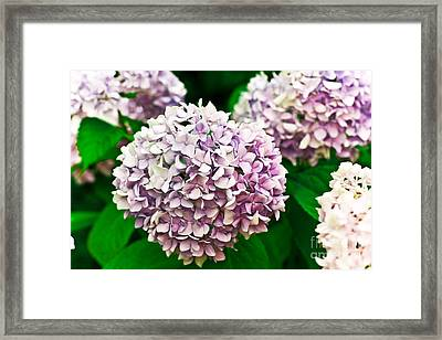 Hydrangea Purple Framed Print by Ryan Kelly