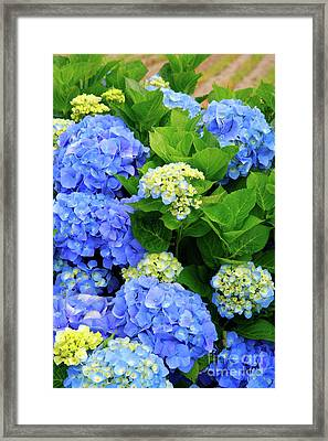 Hydrangeas Framed Print by Gaspar Avila