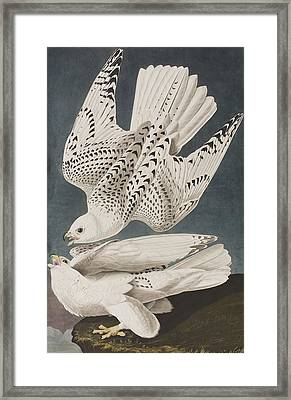 Iceland Falcon Or Jer Falcon Framed Print by John James Audubon
