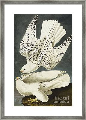 Iceland Or Jer Falcon Framed Print by John James Audubon