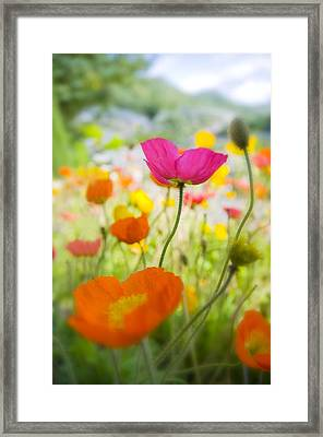 Iceland Poppies Framed Print by Silke Magino