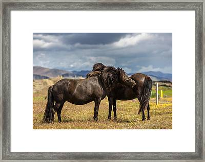 Icelandic Purebred Horses, Iceland Framed Print by Panoramic Images