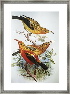 IIwi Framed Print by Hawaiian Legacy Archive - Printscapes