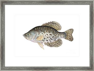 Illustration Of A Black Crappie Framed Print by Carlyn Iverson