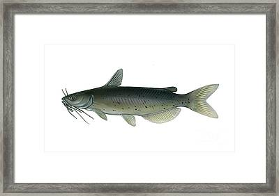 Illustration Of A Channel Catfish Framed Print by Carlyn Iverson