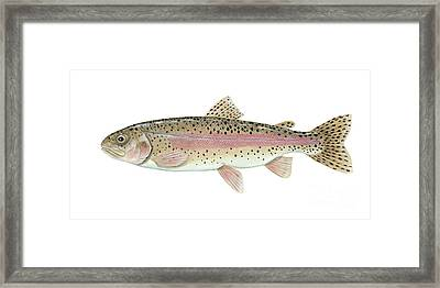 Illustration Of A Rainbow Trout Framed Print by Carlyn Iverson