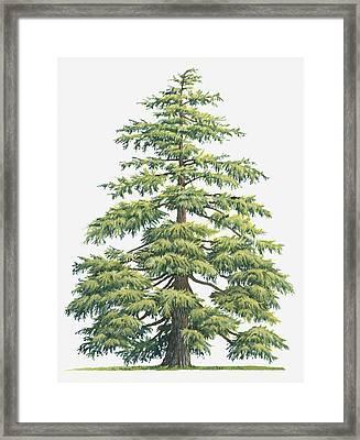 Illustration Of Evergreen Cedrus Deodara (deodar Cedar, Himalayan Cedar Tree Framed Print by Sue Oldfield