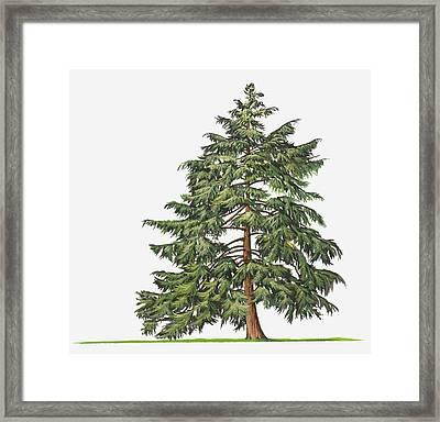 Illustration Of Evergreen Tsuga Canadensis (eastern Hemlock, Canadian Hemlock) Tree Framed Print by Sue Oldfield