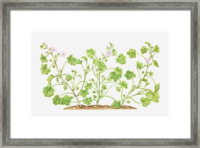 Illustration Of Malva Neglecta (dwarf Mallow), Wildflowers Framed Print by Tricia Newell