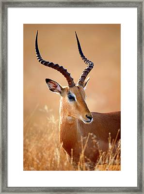 Impala Male Portrait Framed Print by Johan Swanepoel