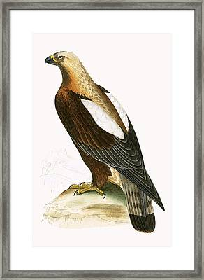 Imperial Eagle Framed Print by English School
