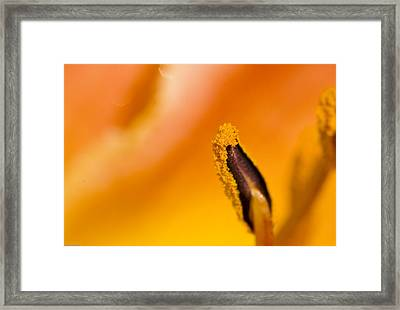 In A Daylily Framed Print by Ches Black