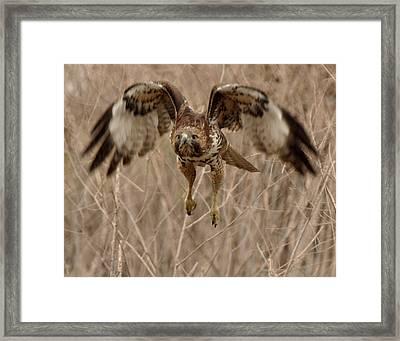 Inbound Red Tail Hawk Framed Print by Matt MacMillan