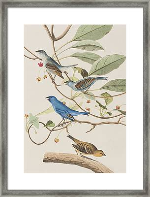 Indigo Bird Framed Print by John James Audubon