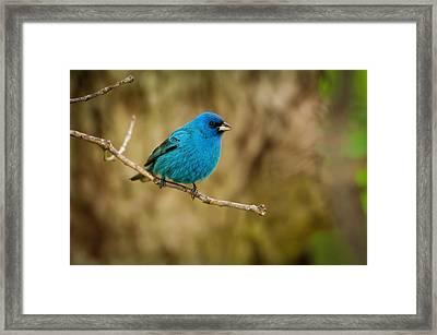 Indigo Bunting Bird Framed Print by Chad Davis