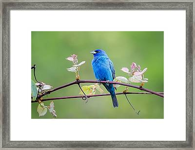 Indigo Bunting Perched Framed Print by Bill Wakeley