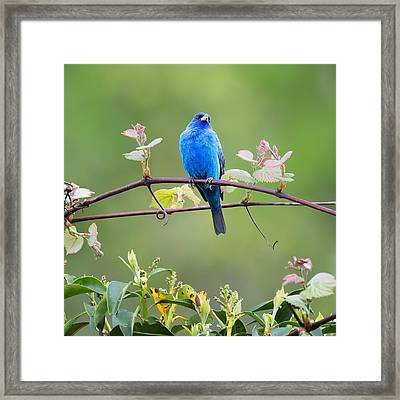 Indigo Bunting Perched Square Framed Print by Bill Wakeley