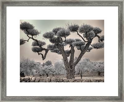 Infrared Spanish Olive Tree Bonsai Framed Print by Jane Linders